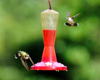 Pam's Hummingbirds