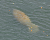 Manatee swimming past our ship.