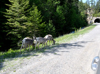 Bighorn Sheep near the entrance to the park.